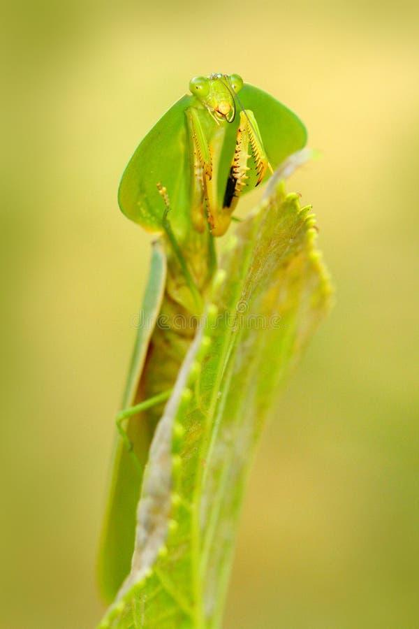 Φύλλο Mantid, rhombicollis Choeradodis, έντομο από τον Ισημερινό Όμορφο πίσω φως βραδιού με το άγριο ζώο Σκηνή Widlife από το nat στοκ εικόνες με δικαίωμα ελεύθερης χρήσης
