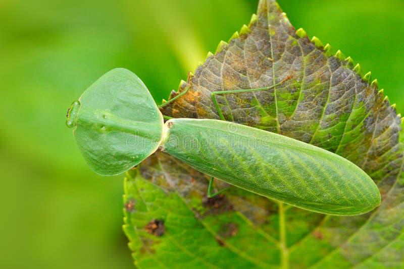 Φύλλο Mantid, rhombicollis Choeradodis, έντομο από τον Ισημερινό Όμορφο πίσω φως βραδιού με το άγριο ζώο Σκηνή Widlife από το nat στοκ εικόνες