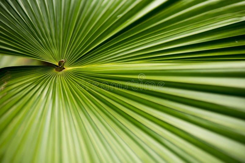 Φύλλο Plam στον κήπο Τροπικό φυτό με τη φρέσκια φωτογραφία υποβάθρου φύλλων στοκ φωτογραφίες