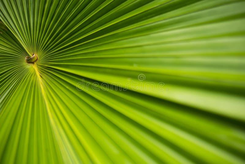 Φύλλο Plam στον κήπο Τροπικό φυτό με τη φρέσκια φωτογραφία υποβάθρου φύλλων στοκ φωτογραφία με δικαίωμα ελεύθερης χρήσης