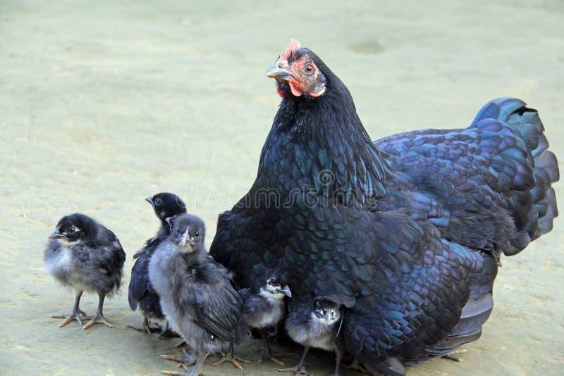 Φύρδην-μίγδην, η μαύρη κότα μου! στοκ φωτογραφία με δικαίωμα ελεύθερης χρήσης