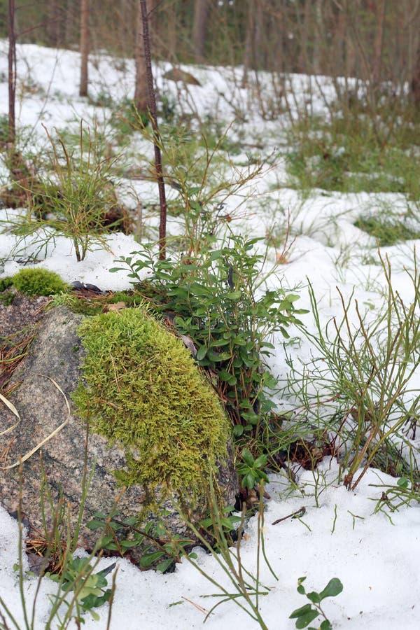 Φύση άνοιξης στη Φινλανδία - μια κινηματογράφηση σε πρώτο πλάνο ενός δάσους στοκ εικόνες