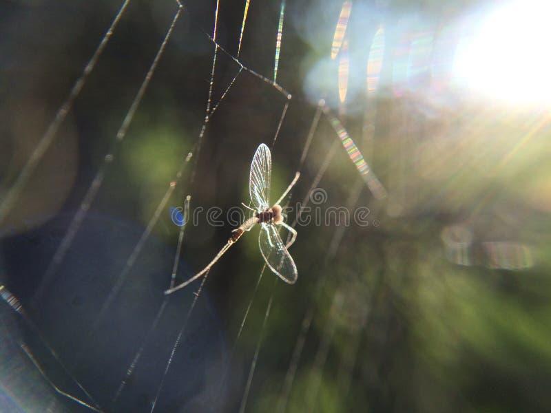 Φύση ιστών αράχνης εντόμων Mayflies spiderweb στοκ εικόνες