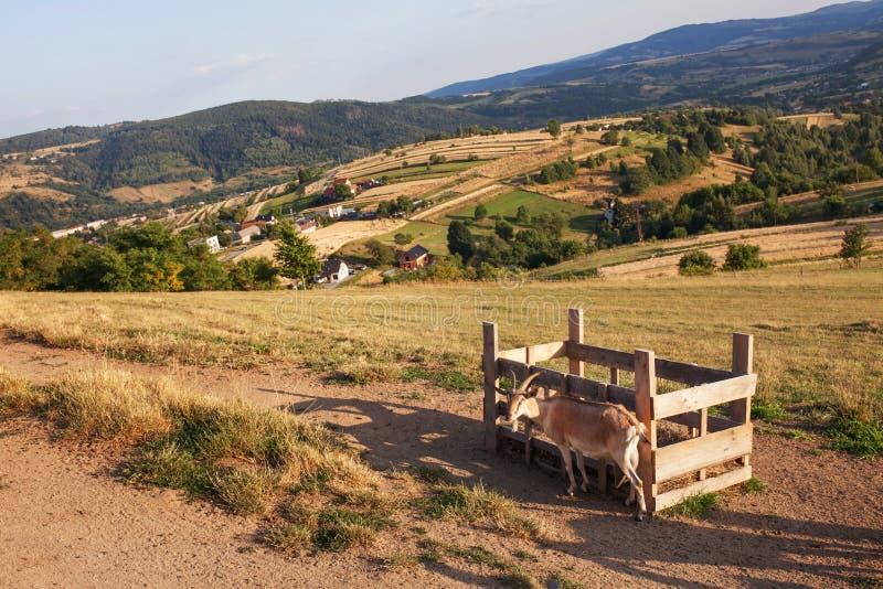 Φύση και περιβάλλον Τομείς και λόφοι Τοπίο βουνών το καλοκαίρι Ταξίδι, τουρισμός και γεωργία Βοσκή αιγών σε πράσινο στοκ εικόνα