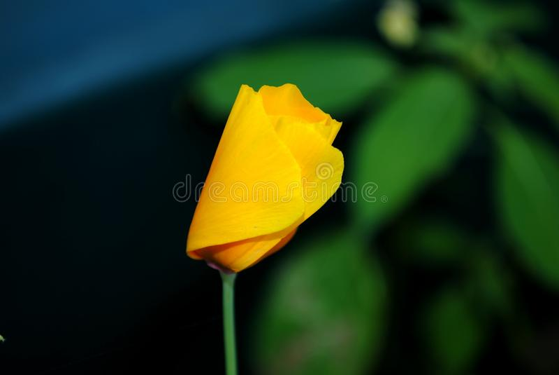 Φύση, λουλούδια, Macrophotography, φωτογραφία, φωτογραφία, μακροεντολή στοκ φωτογραφία με δικαίωμα ελεύθερης χρήσης