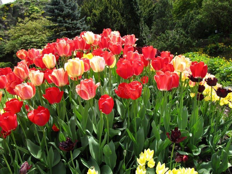 Φύση στην πόλη: Η φωτεινή ζωηρόχρωμη ποικιλία της τουλίπας ανθίζει στην άνθιση, βασίλισσα Elizabeth Park, Βανκούβερ, το Μάιο του  στοκ εικόνα με δικαίωμα ελεύθερης χρήσης