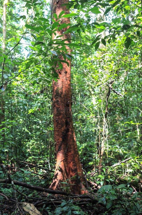 Φύση του εθνικού πάρκου Gunung Mulu Sarawak, Μαλαισία στοκ εικόνα