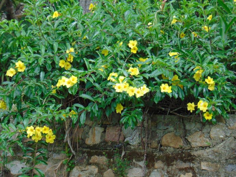 Φύτεμα κίτρινα λουλούδια σε πέτρινα τείχη στοκ εικόνα