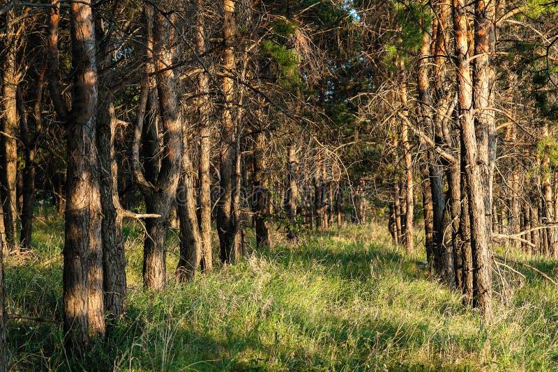 Φύτευση πεύκων Γραμμική προοπτική από τους κορμούς δέντρων στοκ εικόνα