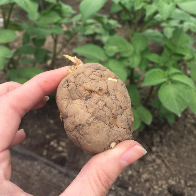 Φύτευση του οργανικού φυτικού κήπου πατατών στοκ εικόνα