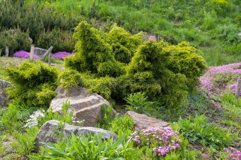 Φύτευση των κωνοφόρων θάμνων και των διακοσμητικών λουλουδιών κοντά στις πέτρες στον κήπο στοκ φωτογραφίες με δικαίωμα ελεύθερης χρήσης