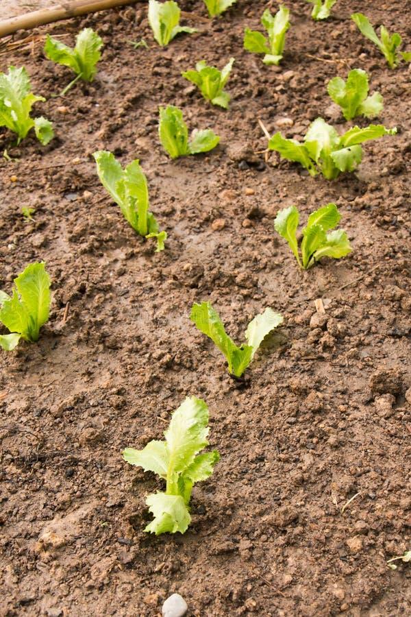 Φύτευση των νέων σποροφύτων της σαλάτας μαρουλιού στοκ εικόνες με δικαίωμα ελεύθερης χρήσης