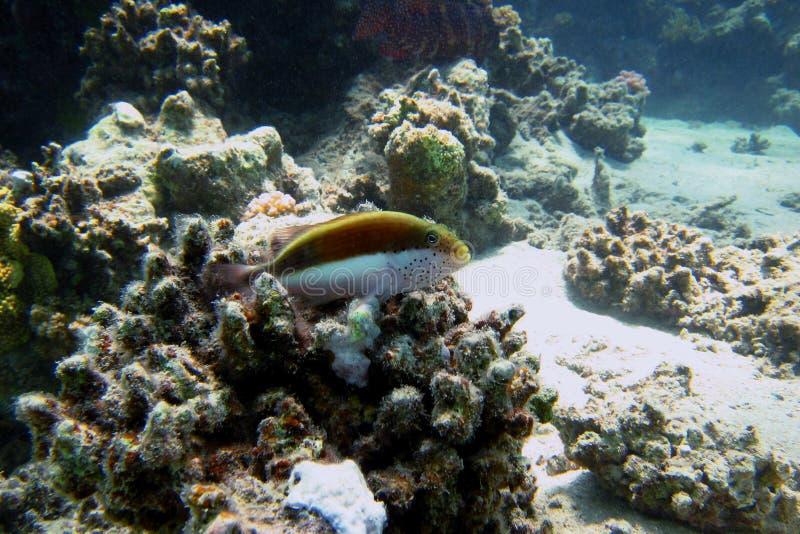 Φύλακας κοραλλιών στο κοράλλι στοκ φωτογραφίες με δικαίωμα ελεύθερης χρήσης