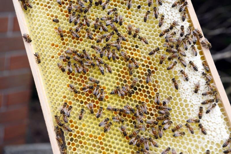 Φύλακας μελισσών που εξετάζει τα πλαίσια της κυψέλης μελισσών μελιού στοκ φωτογραφία με δικαίωμα ελεύθερης χρήσης