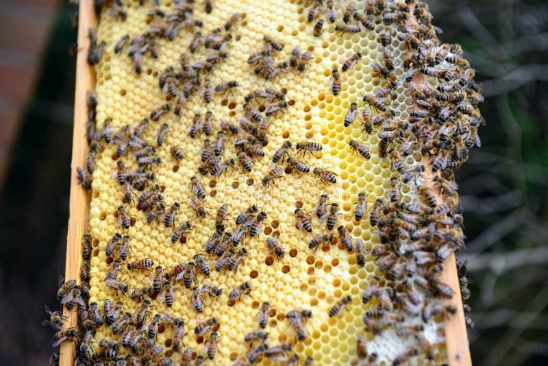 Φύλακας μελισσών που εξετάζει τα πλαίσια της κυψέλης μελισσών μελιού στοκ φωτογραφίες