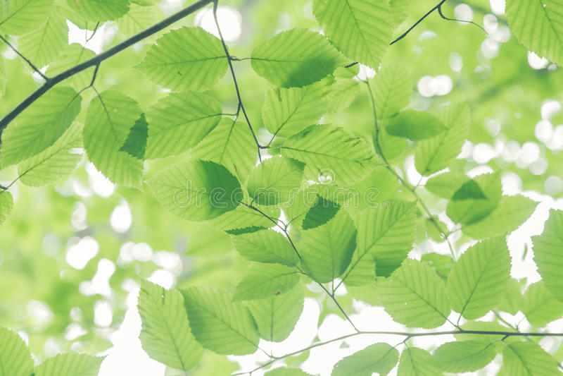 Φύλλα δέντρων οξιών στοκ φωτογραφία