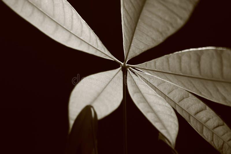 Φύλλα Α φυτού χρημάτων Monocromatic στοκ εικόνες