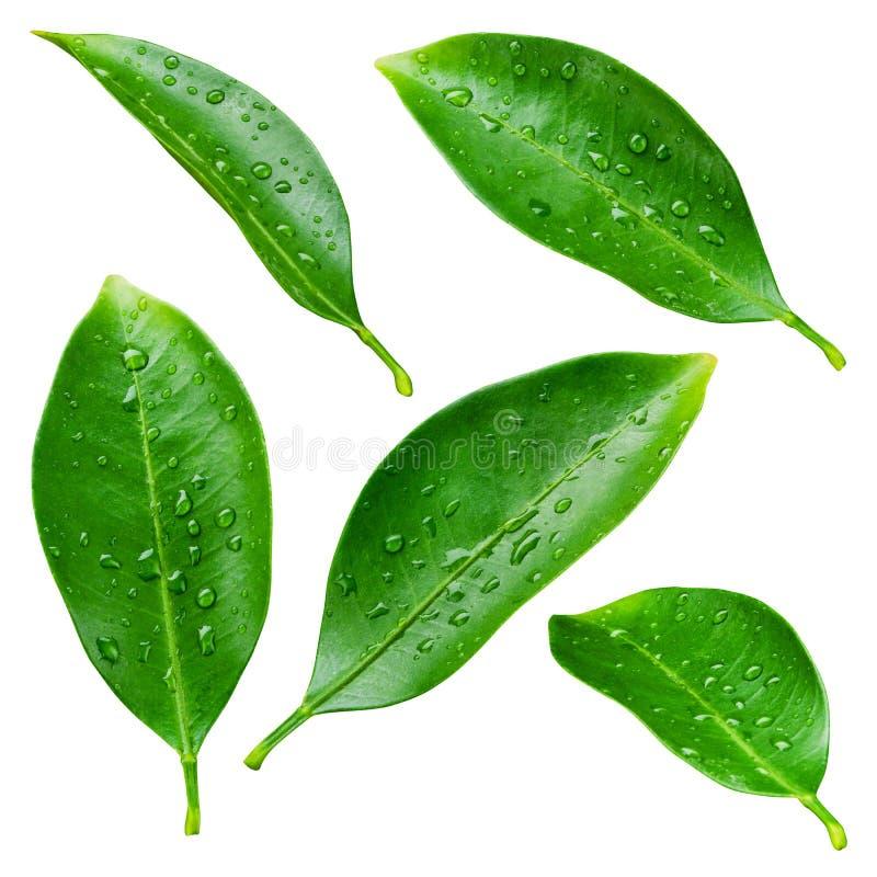 Φύλλα εσπεριδοειδών με τις πτώσεις που απομονώνονται στο λευκό στοκ φωτογραφίες με δικαίωμα ελεύθερης χρήσης