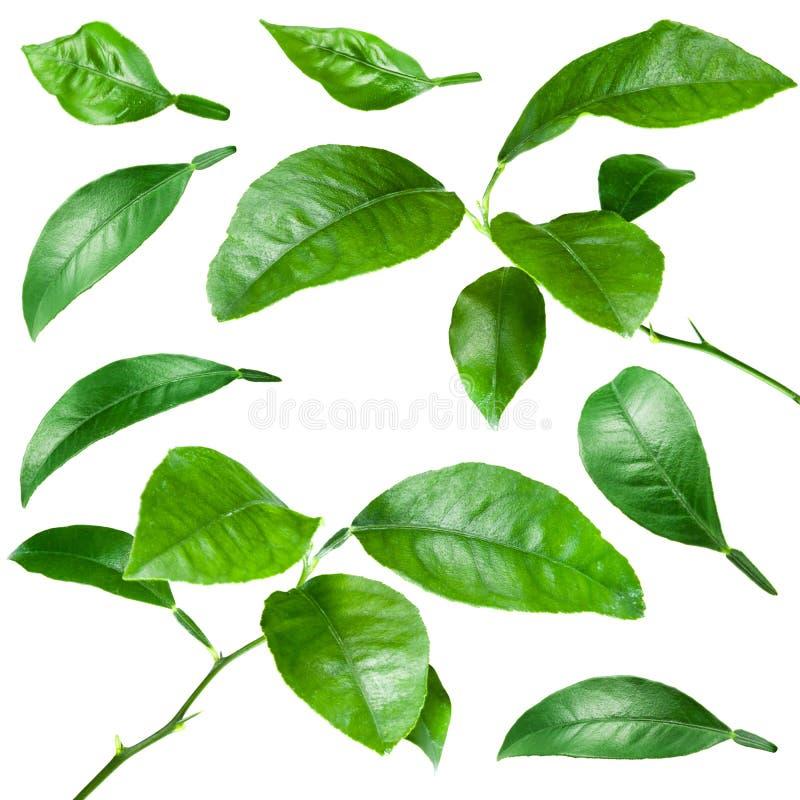 Φύλλα εσπεριδοειδών που απομονώνονται στο λευκό Συλλογή στοκ φωτογραφία με δικαίωμα ελεύθερης χρήσης