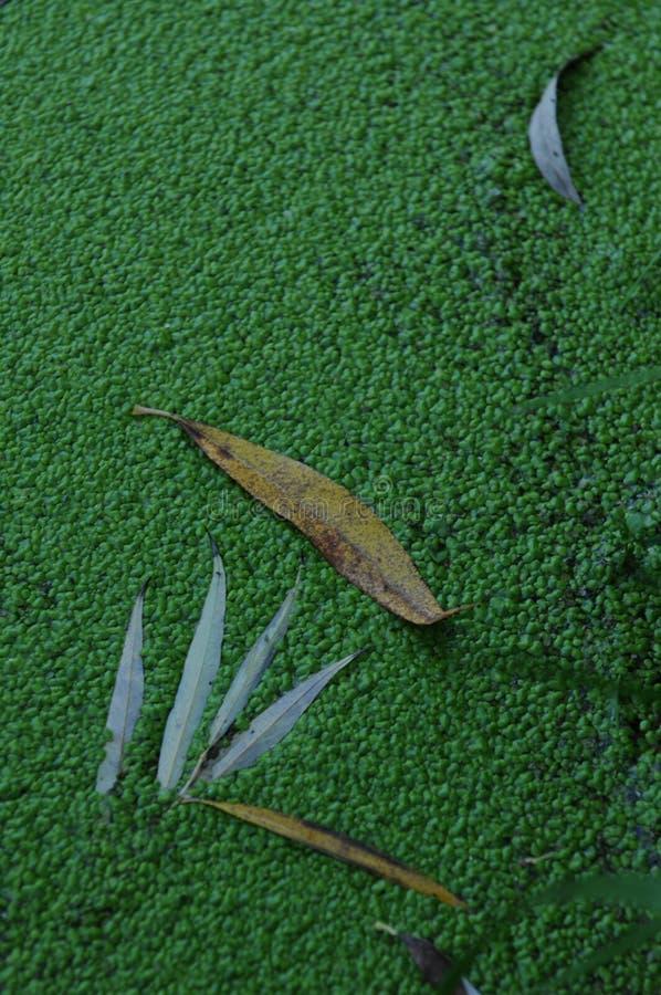 Φύλλα ιτιών που επιπλέουν σε πράσινο στοκ εικόνες με δικαίωμα ελεύθερης χρήσης