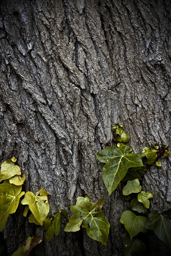 Φύλλα κισσών στον κορμό στοκ εικόνα με δικαίωμα ελεύθερης χρήσης