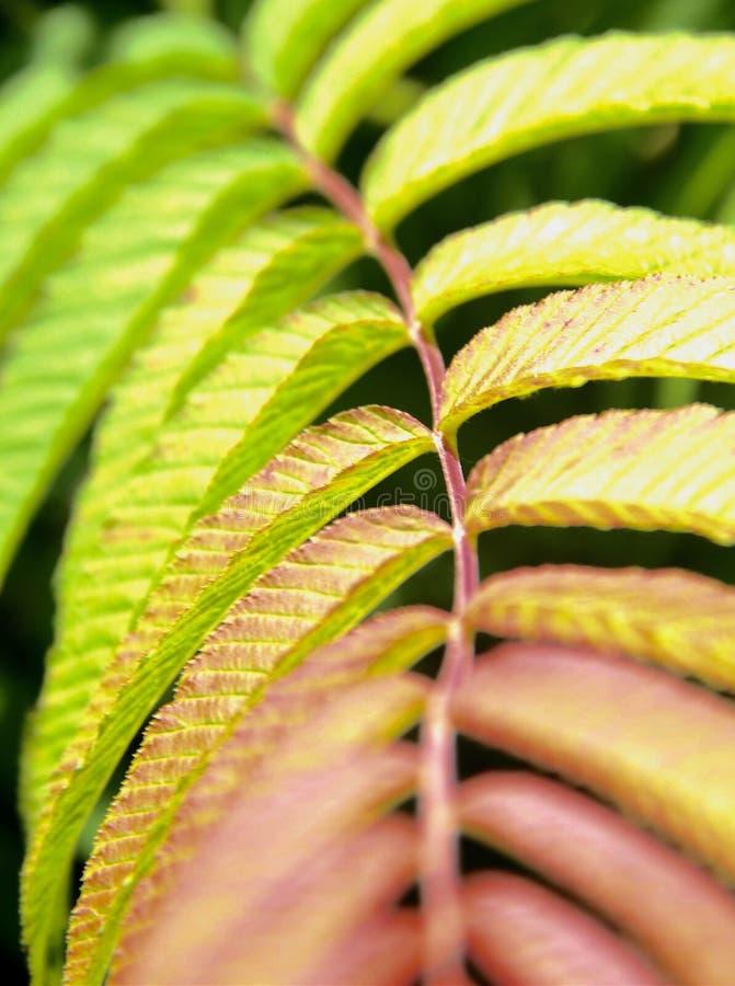 Φύλλα κοκκινίσματος στοκ εικόνα