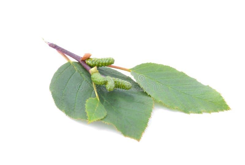 φύλλα κληθρών με τους πράσινους κώνους που απομονώνονται στο άσπρο υπόβαθρο στοκ εικόνα