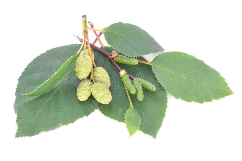 φύλλα κληθρών με τους πράσινους κώνους που απομονώνονται στο άσπρο υπόβαθρο στοκ εικόνες