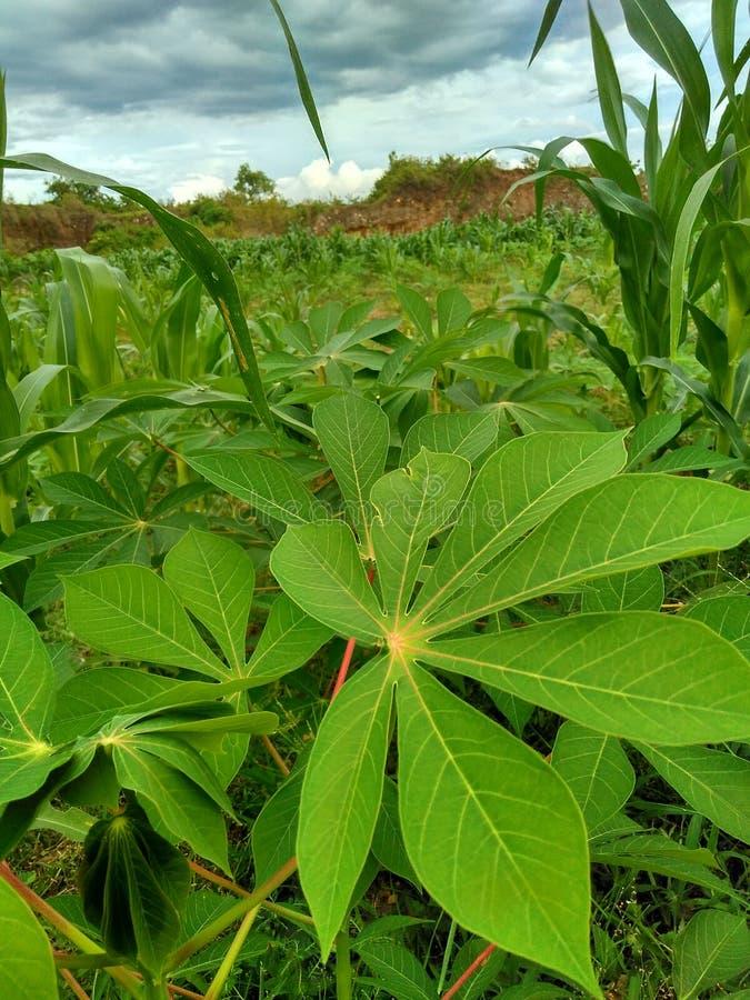 Φύλλα μανιόκων στοκ εικόνες