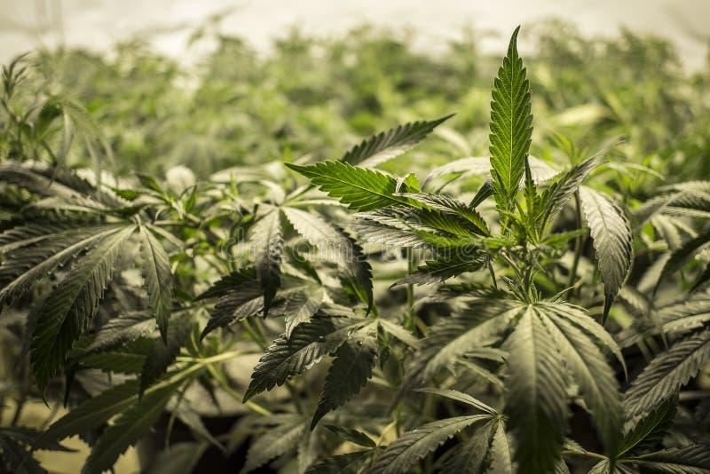 Φύλλα μαριχουάνα πάνω από τα φυτά στοκ φωτογραφία με δικαίωμα ελεύθερης χρήσης