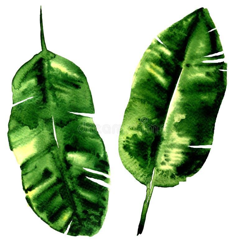 Φύλλα μπανανών, τροπικό εξωτικό φύλλο φοινικών, που απομονώνεται, απεικόνιση watercolor στο λευκό διανυσματική απεικόνιση