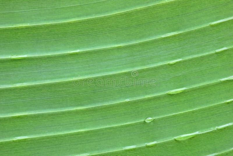 Φύλλα μπανανών στοκ εικόνα