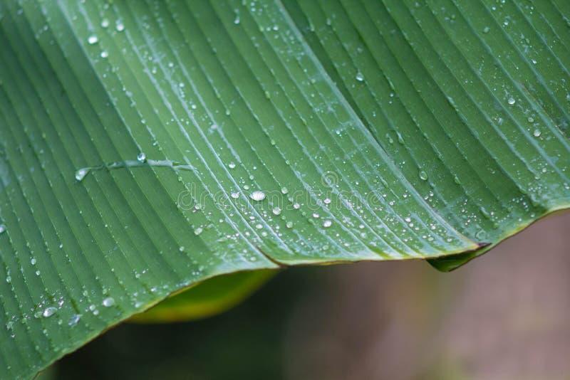 Φύλλα μπανανών στοκ εικόνα με δικαίωμα ελεύθερης χρήσης