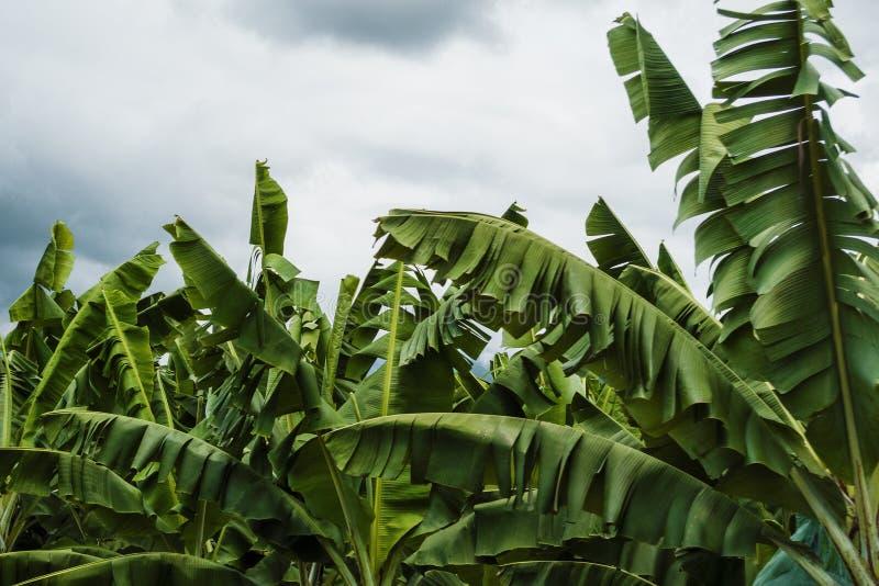 Φύλλα μπανανών στοκ εικόνες με δικαίωμα ελεύθερης χρήσης