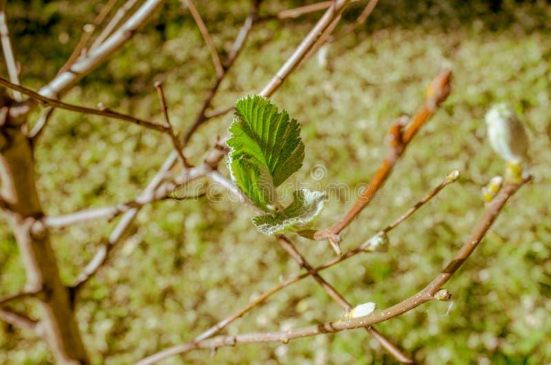 Φύλλα νεαρών βλαστών σε έναν κλάδο με τους οφθαλμούς στοκ φωτογραφίες