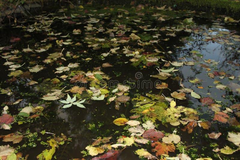 Φύλλα που επιπλέουν σε μια μικρή λίμνη στοκ εικόνες
