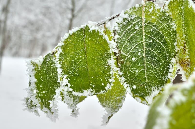 Φύλλα που καλύπτονται με τον παγετό στα χειμερινά ξύλα στοκ εικόνα