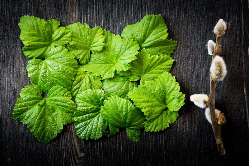 Φύλλα ριβησίων, catkin στοκ φωτογραφίες