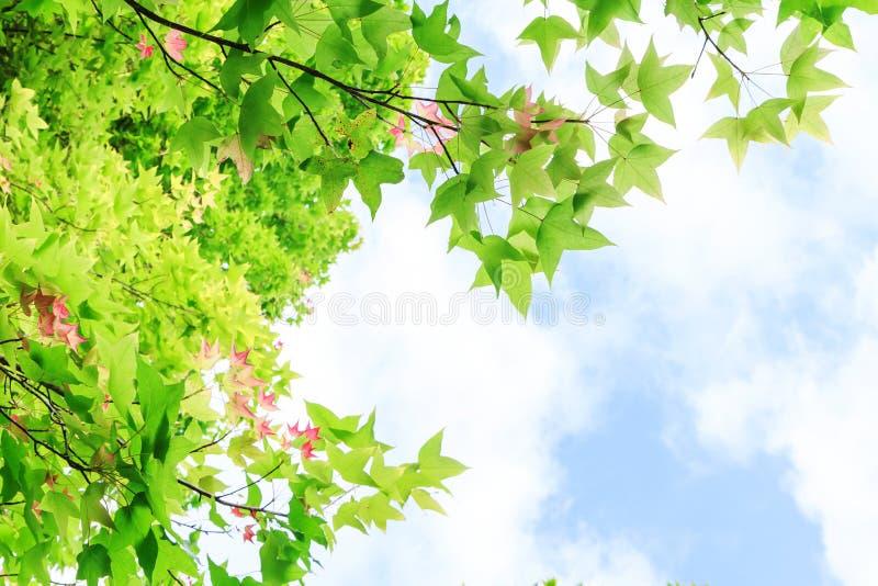 Φύλλα σφενδάμου για το υπόβαθρο στοκ φωτογραφία με δικαίωμα ελεύθερης χρήσης
