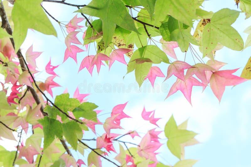 Φύλλα σφενδάμου για το υπόβαθρο στοκ φωτογραφίες με δικαίωμα ελεύθερης χρήσης