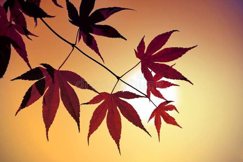 Φύλλα σφενδάμου ενάντια στον ουρανό ηλιοβασιλέματος στοκ εικόνες με δικαίωμα ελεύθερης χρήσης
