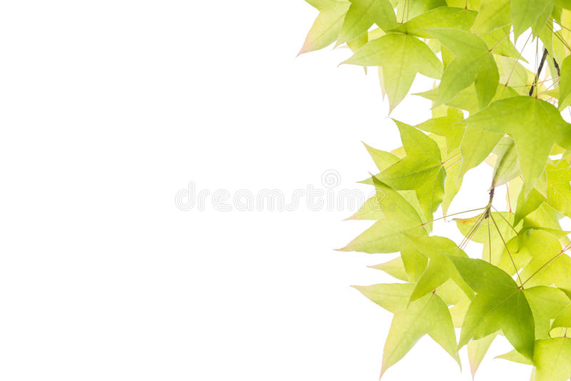 Φύλλα σφενδάμου που απομονώνονται στο άσπρο υπόβαθρο στοκ φωτογραφία