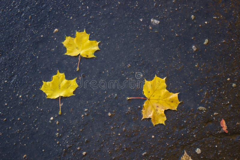 Φύλλα σφενδάμου στο πεζοδρόμιο στοκ εικόνες