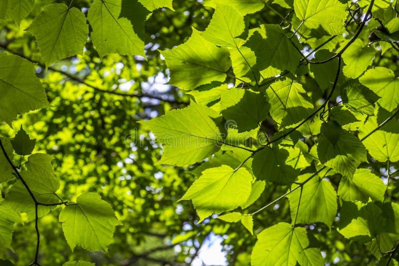 Φύλλα σφενδάμου στο φως του ήλιου στοκ φωτογραφία με δικαίωμα ελεύθερης χρήσης