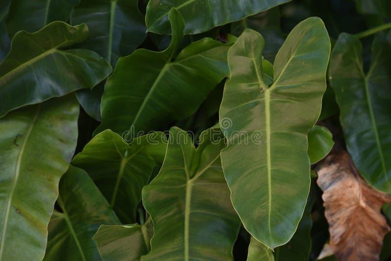 Φύλλα Ταϊλάνδη στοκ εικόνα με δικαίωμα ελεύθερης χρήσης