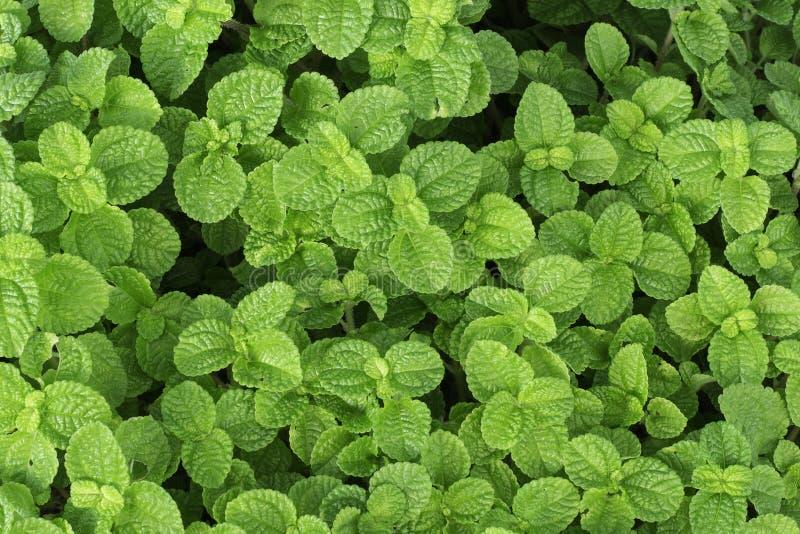 Φύλλα της μέντας στο πράσινο υπόβαθρο στοκ εικόνες με δικαίωμα ελεύθερης χρήσης