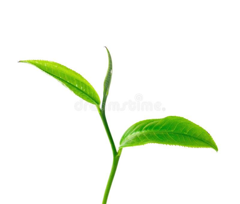 Φύλλα τσαγιού με το άσπρο υπόβαθρο στοκ εικόνες