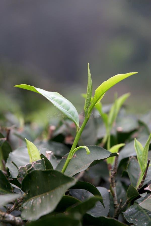 Φύλλα τσαγιού που ανοίγουν σε ένα αγρόκτημα τσαγιού στοκ εικόνες