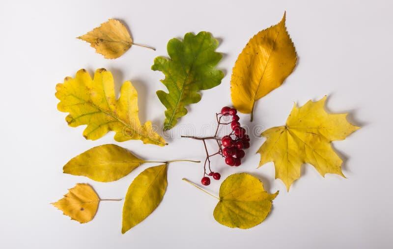 Φύλλα των διαφορετικών δέντρων και των μούρων σορβιών στοκ εικόνες