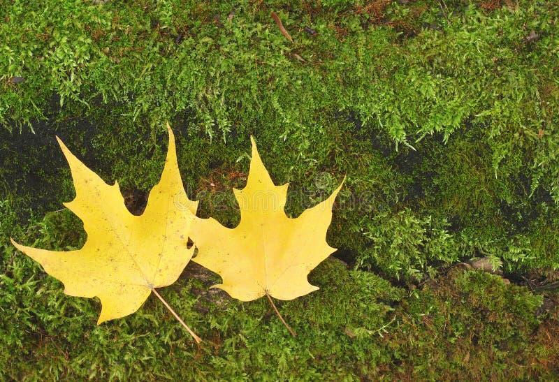 Φύλλα φθινοπώρου στο πράσινο υπόβαθρο βρύου τύρφης στοκ φωτογραφία με δικαίωμα ελεύθερης χρήσης